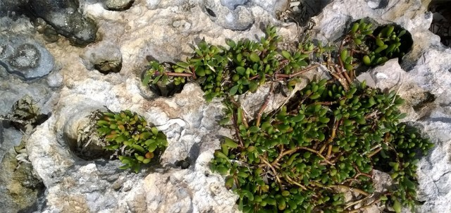 Succulents in rocks, Sombrero Beach Marathon Key FL