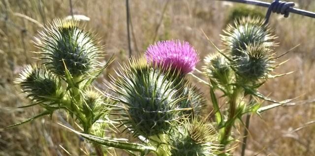 Thistle Blooming Montara CA