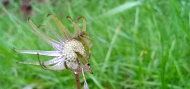 Empty Dandelion
