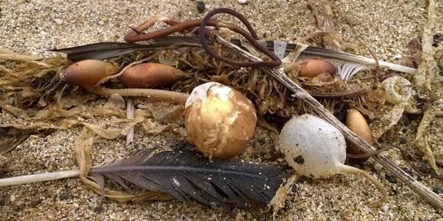 Seaweed Still Life Montara CA