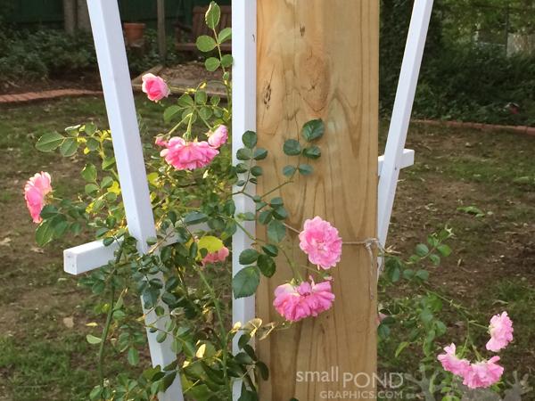 grand_roses7