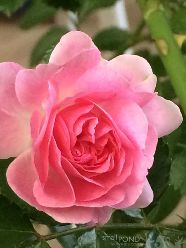 grand_roses8