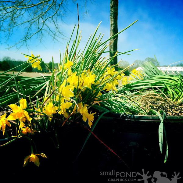 mar_daffodils3