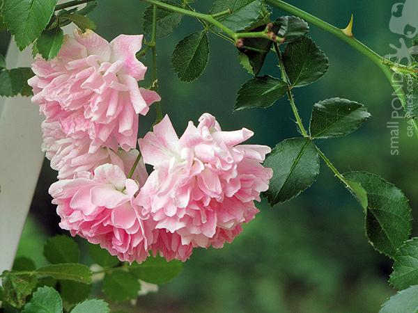 climbing_roses