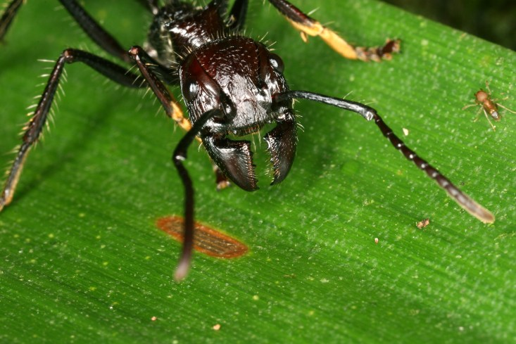 Bilderesultat for bullet ant