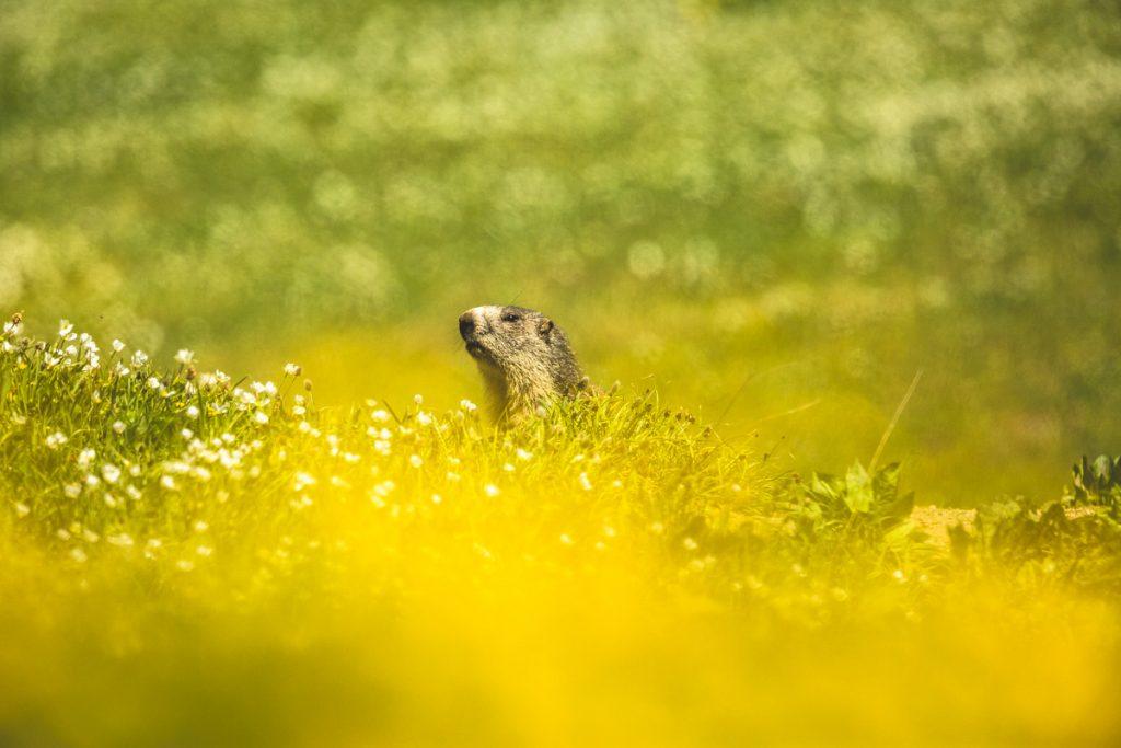 Marmotta-fiori-Nivolet-gran-paradiso