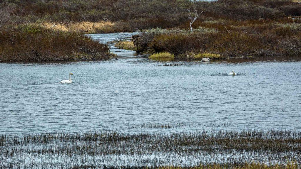 Cigni selvatici in un lago lungo la strada 890 per Berlevåg