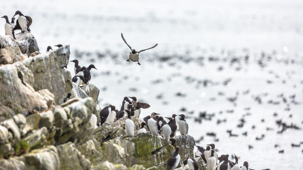 Urie raggruppate sugli scogli in riva al mare sull'isola di Hornøya