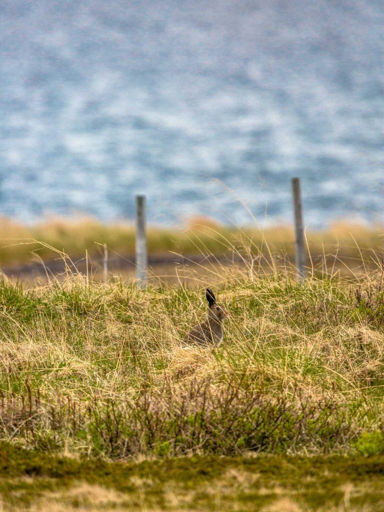 Lepre Variabile nell'erba alta
