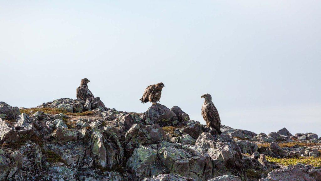Un gruppo di aquile di mare poco distante dal pesino di Kiberg