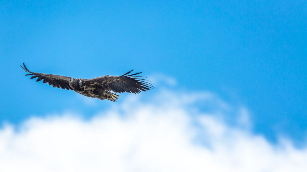 Aquila in volo sulla scogliera di Ekkeroy