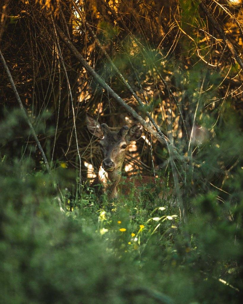 Monfragüe cervo si riposa tra la vegetazione