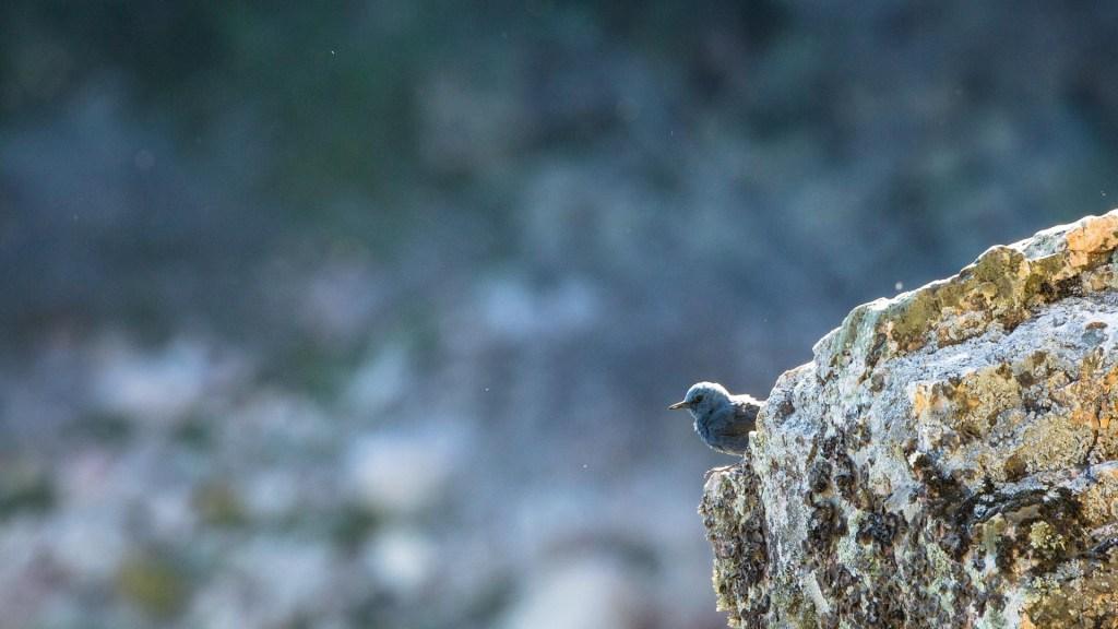 passero solitario al salto del gitano