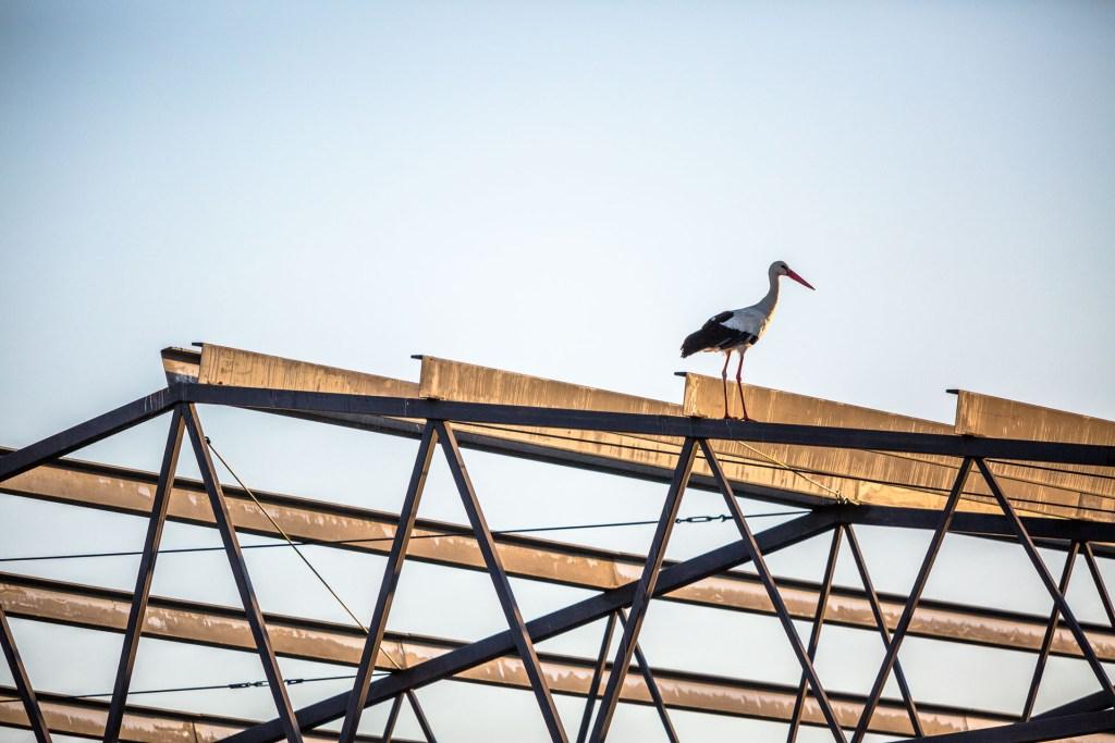 Una cicogna in cima ad un capannone inutilizzato di El Gordo