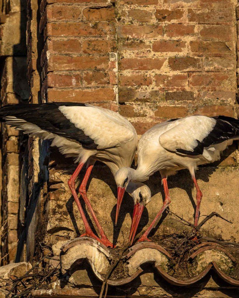 Una coppia di cicogne intenta a costruirsi il nido su una piccola sporgenza di una grossa casa abbandonata nel centro di El Gordo