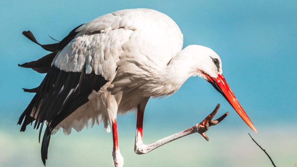 Cicogna nel nido a Trujillo
