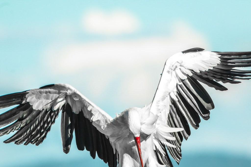 Cicogna atterra nel nido a Trujillo Spagna