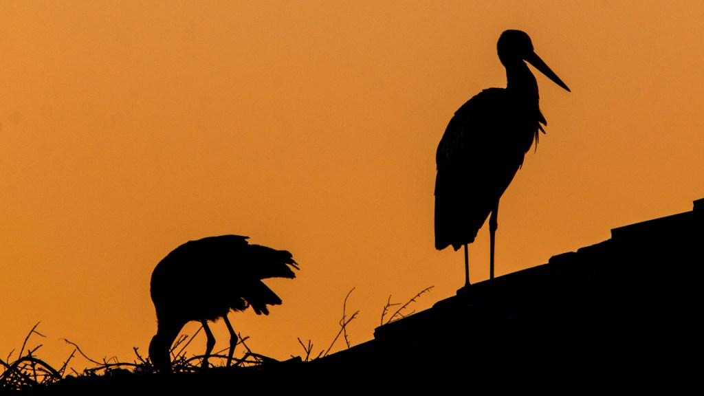 Cicogne in Silhouette all'alba a Trujillo