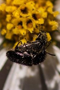Beetle romance