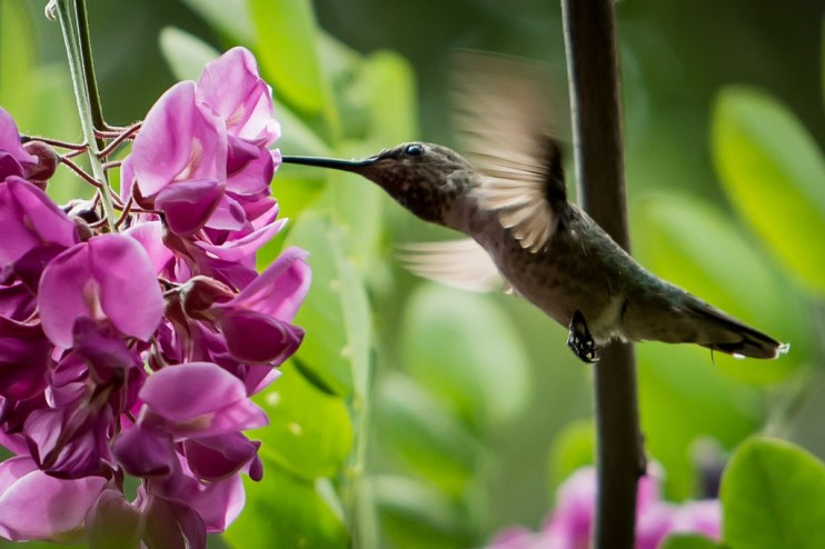 Drinking hummingbird, in the purple robe.