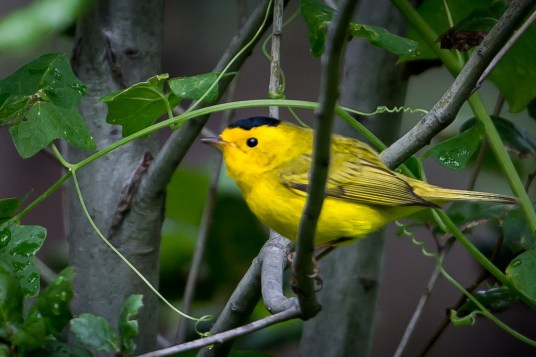 Wilson's warbler: not a fan of sitting still.