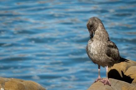 Preening seagull