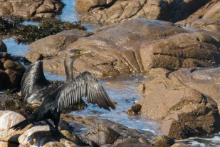 A grey cormorant sunning himself
