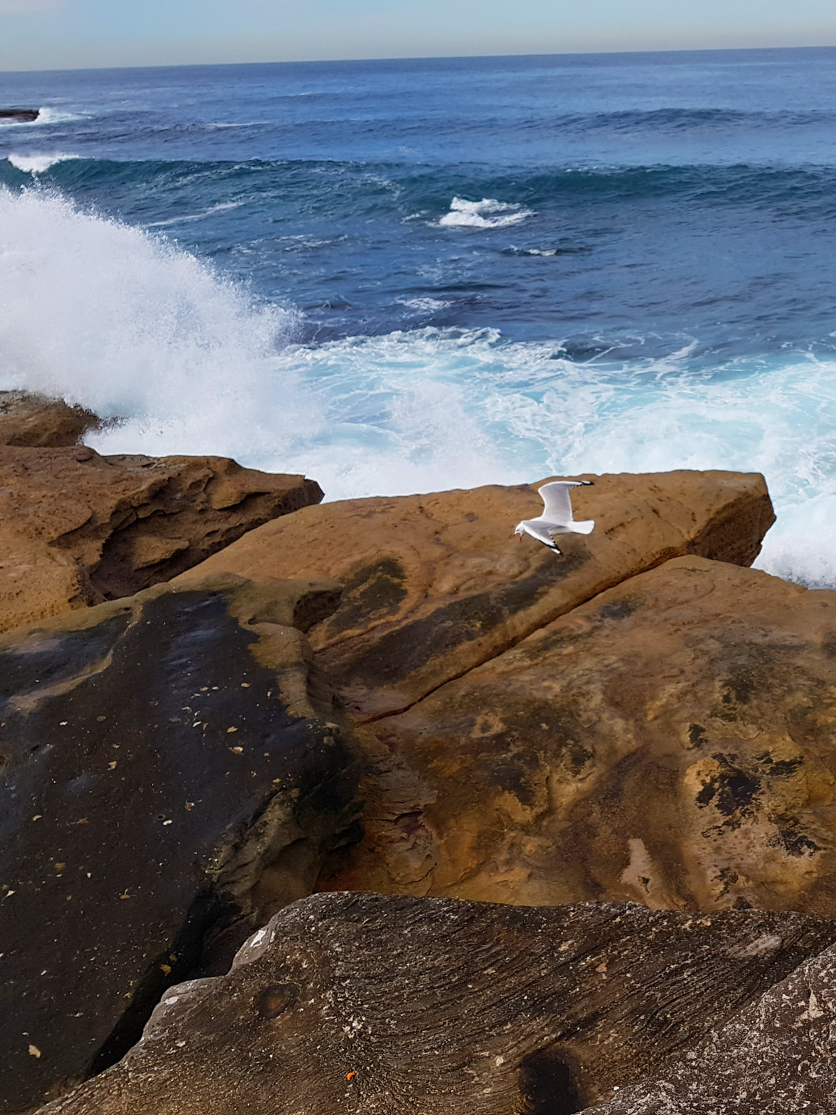 SGMT Australia Sydney_Bondi to Coogee Coastal Walk_16 Clovelly Beach Bird Flying Over Rocks and Water