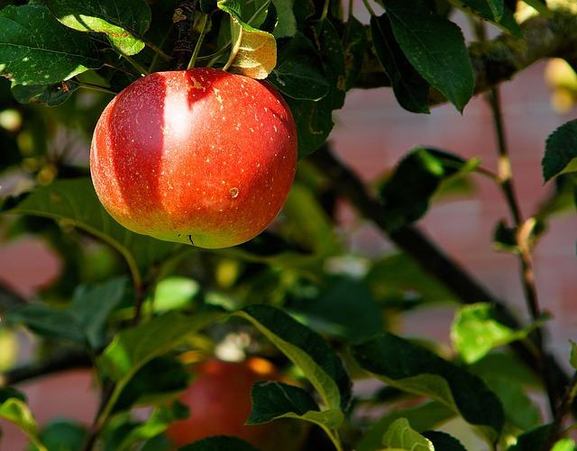 Cider apple tree.