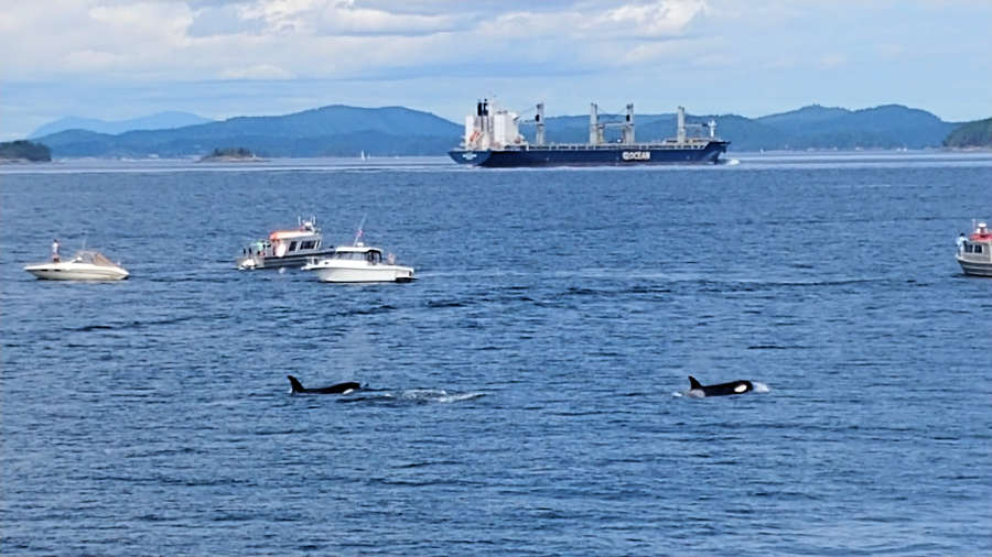 Orca whales near Pender Harbour.