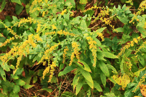 golden-rod