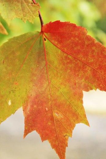 sugar-leaf