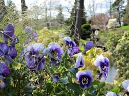 Halifax Public Gardens in May violet pansies