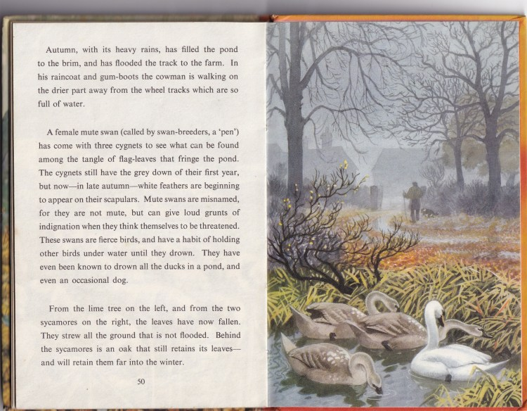 2 pages from 'What to look for in Autumn'. One page text, the other an illustration of a grown swan and 3 cyngets on a pond. A man and dog walking towards farmhouses in the background