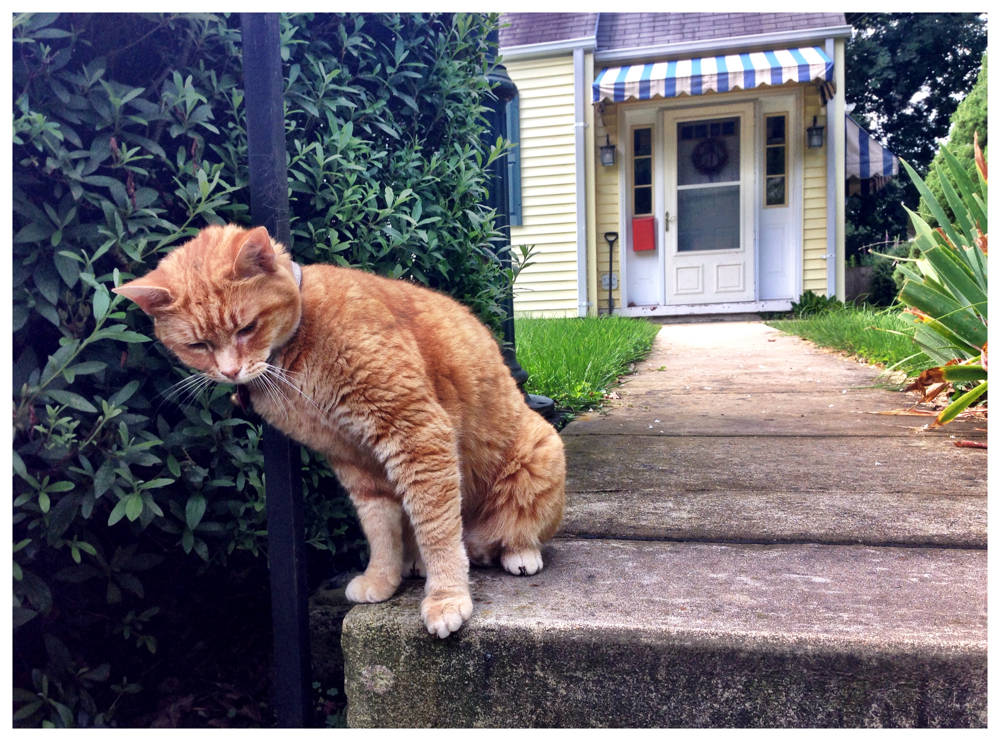 Mia the cat on Wake Dr in Kensington, Maryland