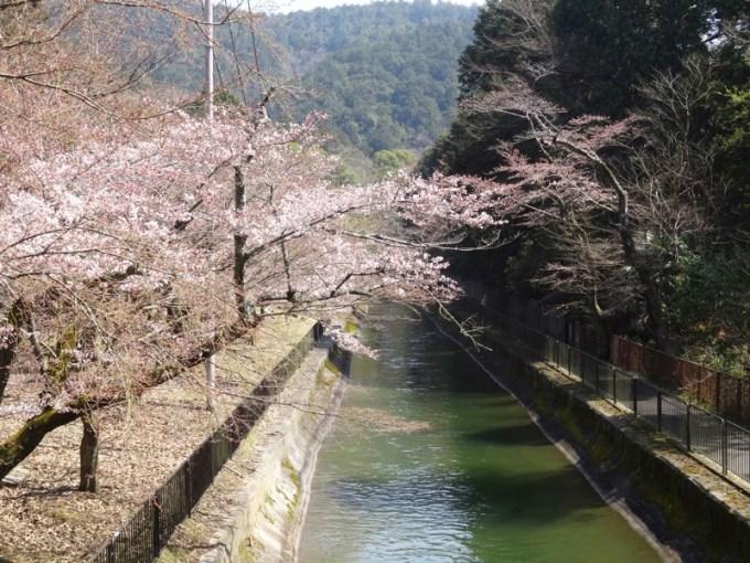 山科疏水2015桜 1