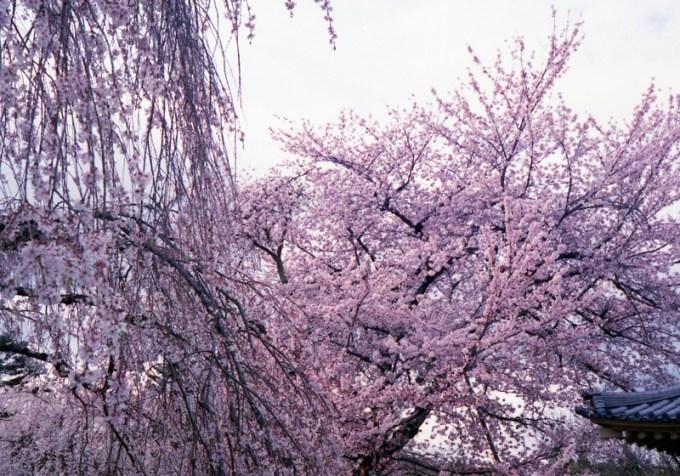 醍醐寺桜2016 5