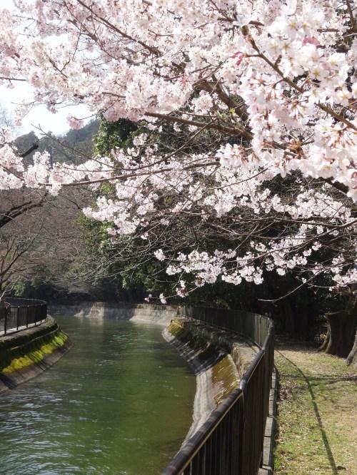 山科疏水2015桜 3