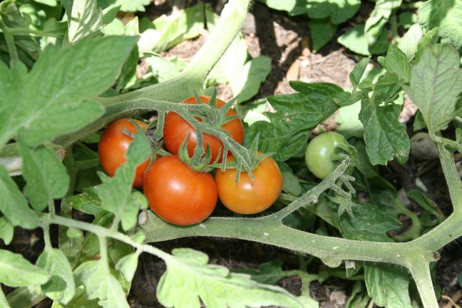 A simple guide to vegetable gardening for those of us who don't have a green thumb.