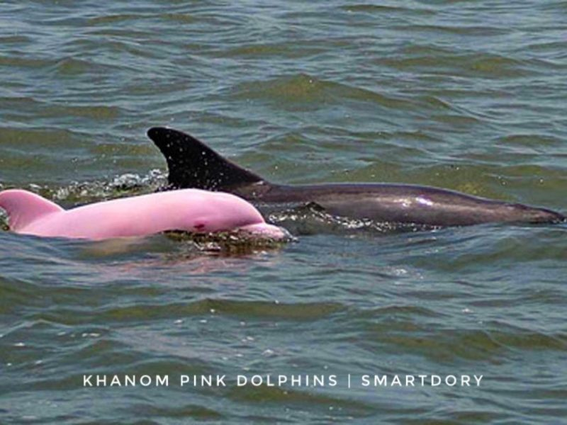 Search For Beautiful Pink Dolphins of Khanom, Thailand