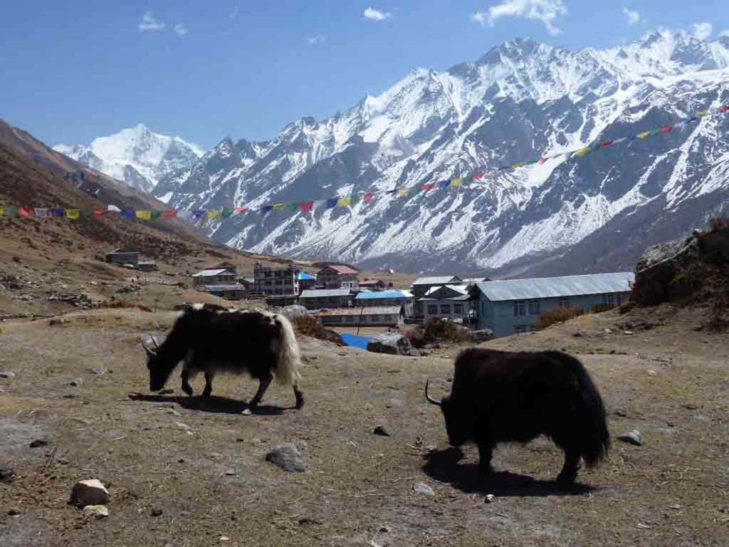 10 Reasons to Trek Annapurna and Everest Region Nepal_Yaks in Langtang Valley