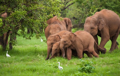 a herd of wild playful baby elephants with their family in their natural habitat in Sri Lanka