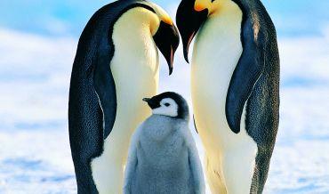Novas colónias de pinguins-imperador são encontradas na Antártica