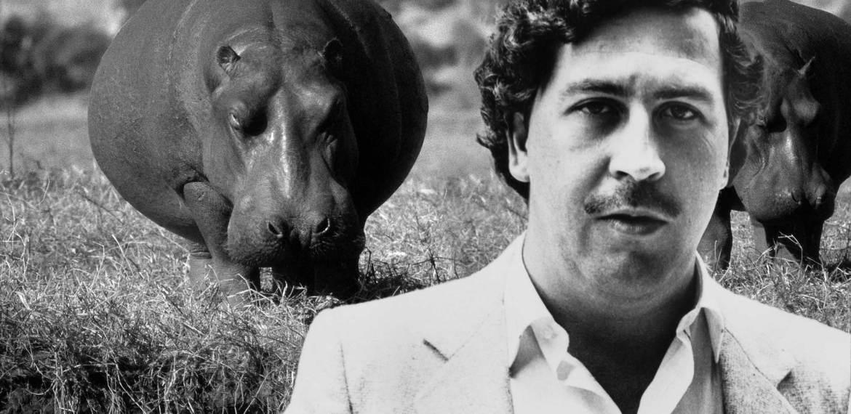 Os 'hipopótamos da cocaína' da Colômbia devem ser abatidos, alertam cientistas
