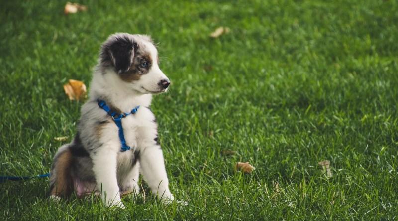 Puppy on a leash training