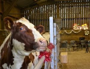 Magenta preparing for some Carols in the Barn!