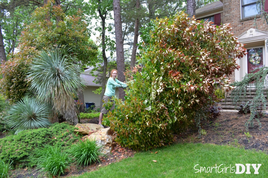 digging-up-a-giant-photinia-plant