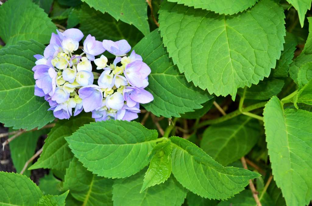 hydrangeas are starting to bloom