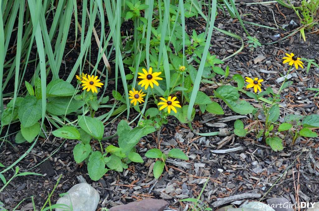 Transplated black-eyed susans