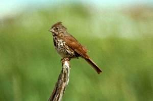 FOX SPARROW – Birds for Kids